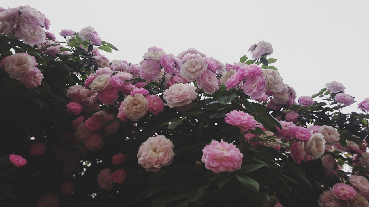 Roses Rose Plant Flowers Flower Collection Pink Roses Pink Flowers Plants Nature Blossom Beauty In Nature Close-up Springtime No People Freshness Day Outdoors Nature Taking Photos Open Edits Feeling Creative EyeEm Nature Lover Photography EyeEm Best Shots Growth Rose Collection