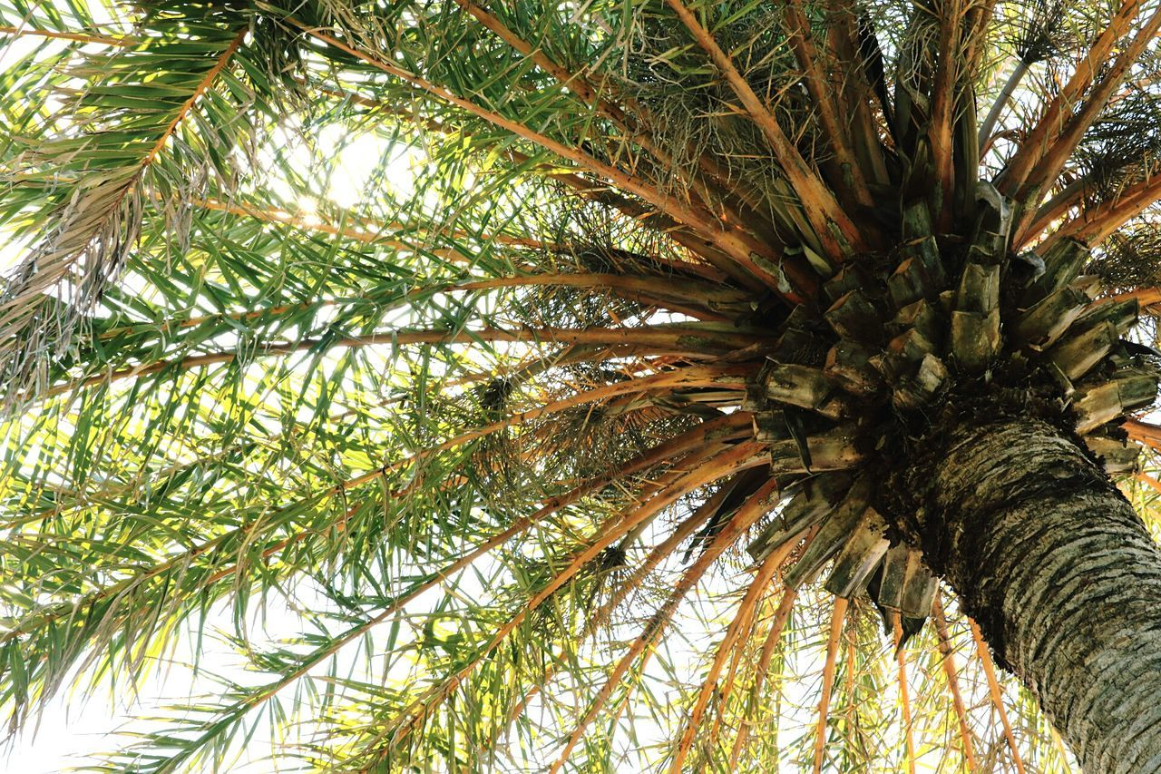 palm tree, tree, low angle view, growth, nature, tree trunk, day, no people, beauty in nature, outdoors, close-up