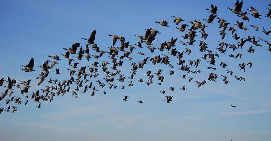 Lotsa geese. Flock Of Birds Flying Gaggle Of Geese Geese Large Group Of Animals