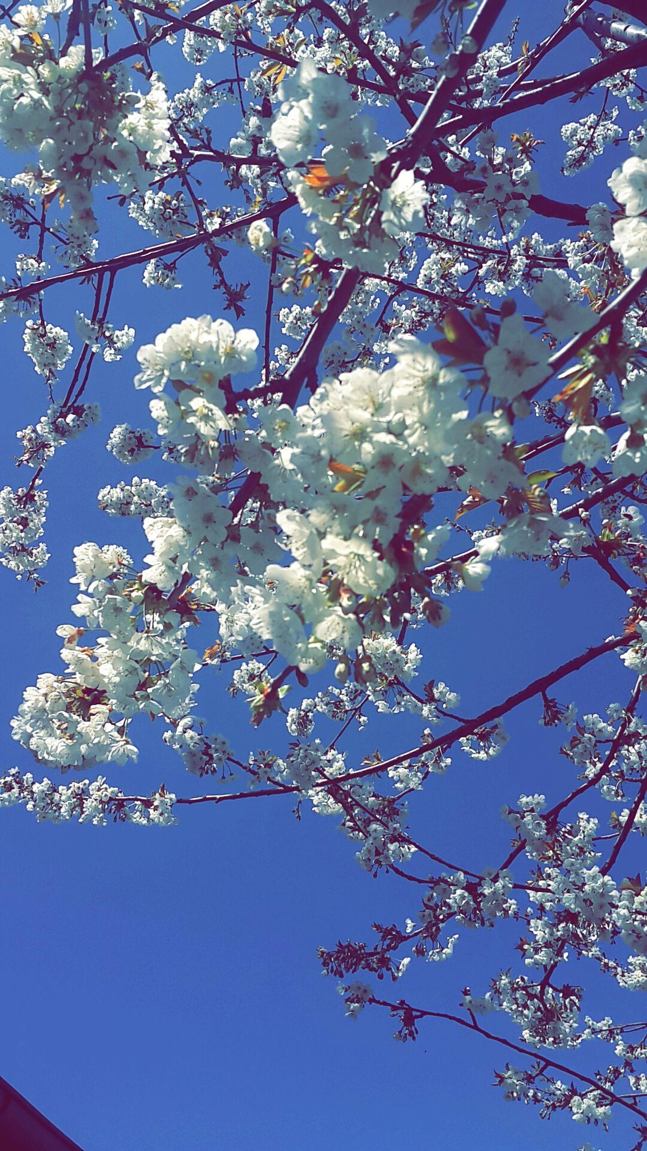 Bahar Gelmis Kirazagaclari🍒🍒🍒🍒 Kiraz çiçeği MIS Kokulu Birgun Doganin Tadini Cikar Spring Spring Flowers Flowers White Sky Blue Day Happy Girl