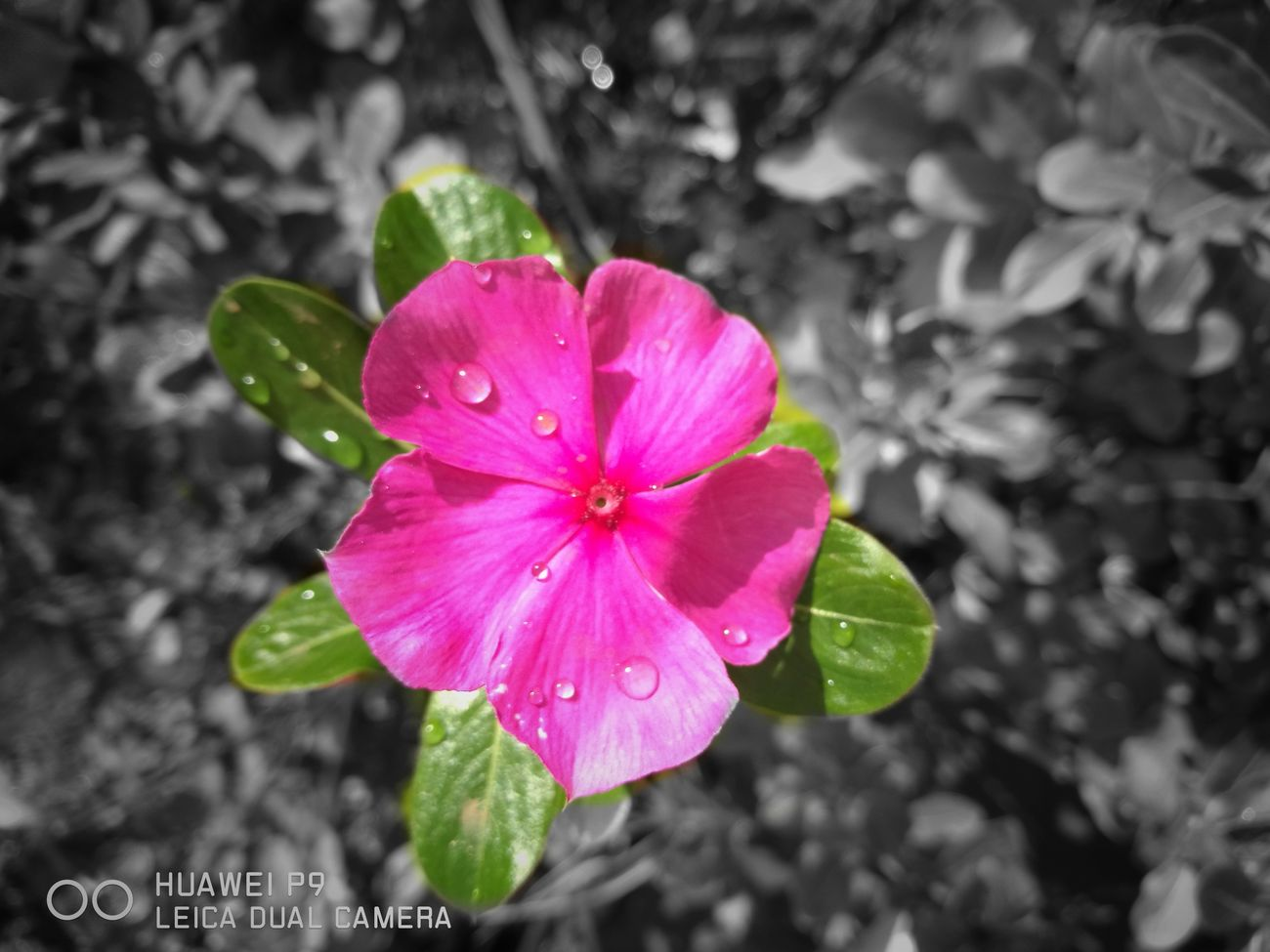Wet Pink Color Nature Periwinkle Flower Fragility Petal Freshness Beauty In Nature Growth Drop Water Plant Flower Head Focus On Foreground Close-up Leaf Blooming Green Color No People After The Rain After Rain Nature Rainy Days Raindrops