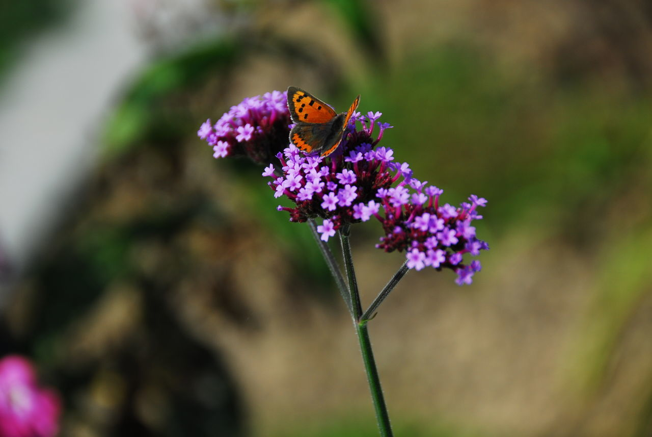 flower, purple, insect, one animal, animal themes, nature, petal, focus on foreground, fragility, animals in the wild, beauty in nature, freshness, growth, outdoors, plant, day, no people, flower head, close-up, pollination