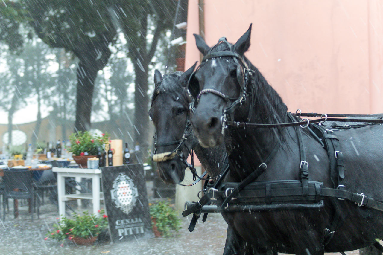 Firenze, Italy Pitti Winery Two Horses Animal Themes Black Horses Day Domestic Animals Hail  Horse Cart Horsedrawn Mammal No People Outdoors