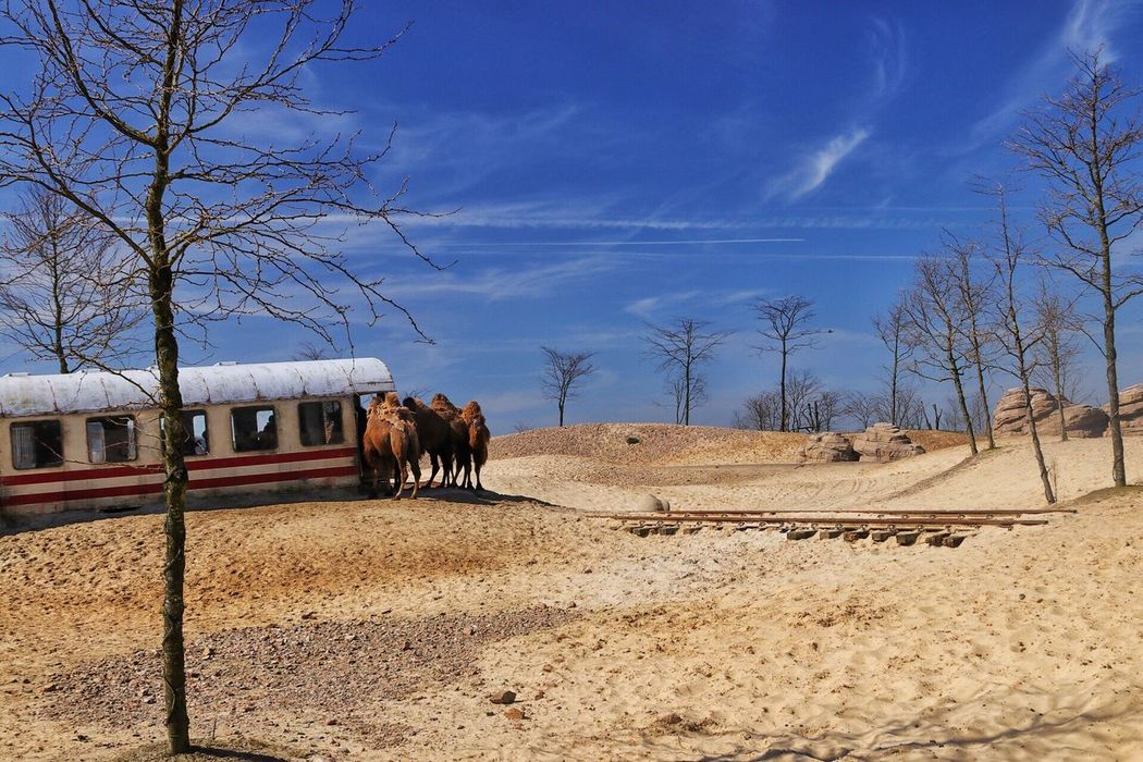 Train Tracks Train Track Tracks Track Sky Mammal Animal Themes Cloud - Sky Landscape Sand Wasteland Desolate Desolate Scene Desolate Landscape Desert Animal Desert Landscape Desert Life Deserts Around The World Desert Beauty Domestic Animals Camel Desert Dromedary Train Carriage Train - Vehicle