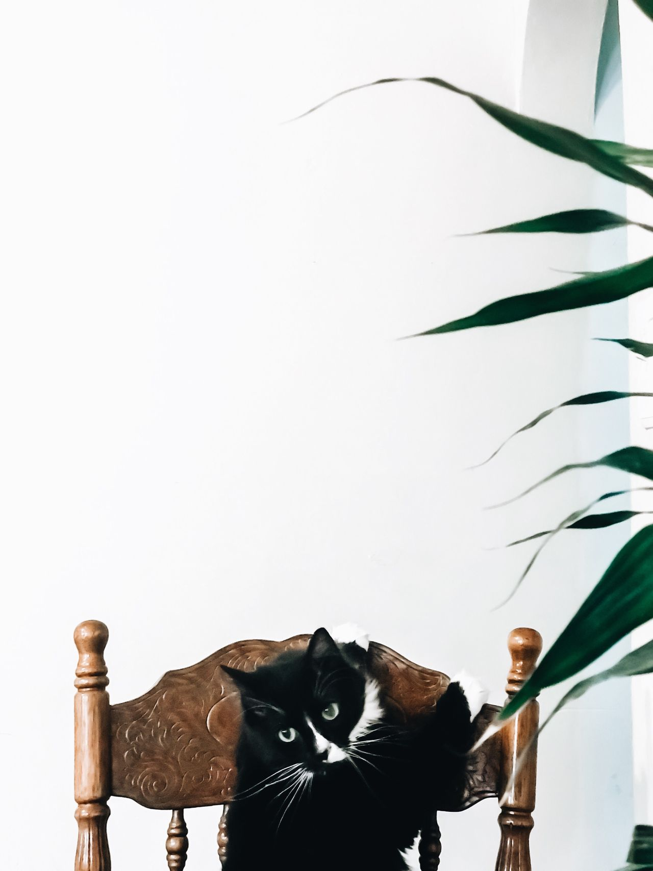 One Animal No People Mammal Animal Themes White Background Day Cat Pet Indoors