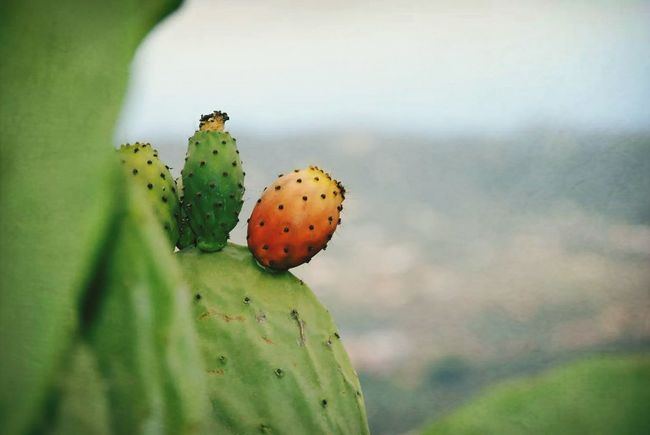 Cactus Tuno Green