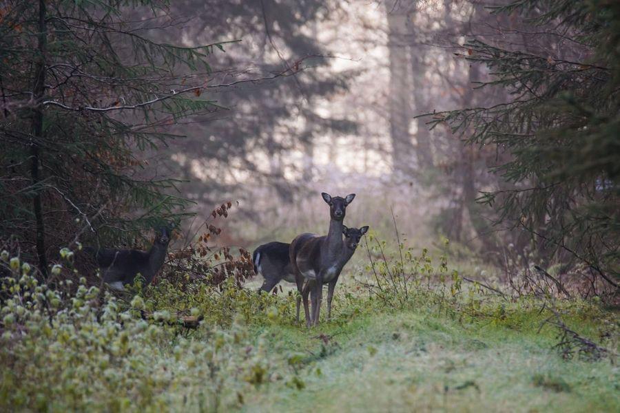 Damwild Wildlife Animals One Animal Animals In The Wild Animal Wildlife Deer Forest Nature Tree Grass Animal Themes Handewitter Forst Schleswig-Holstein Beauty In Nature Autumn