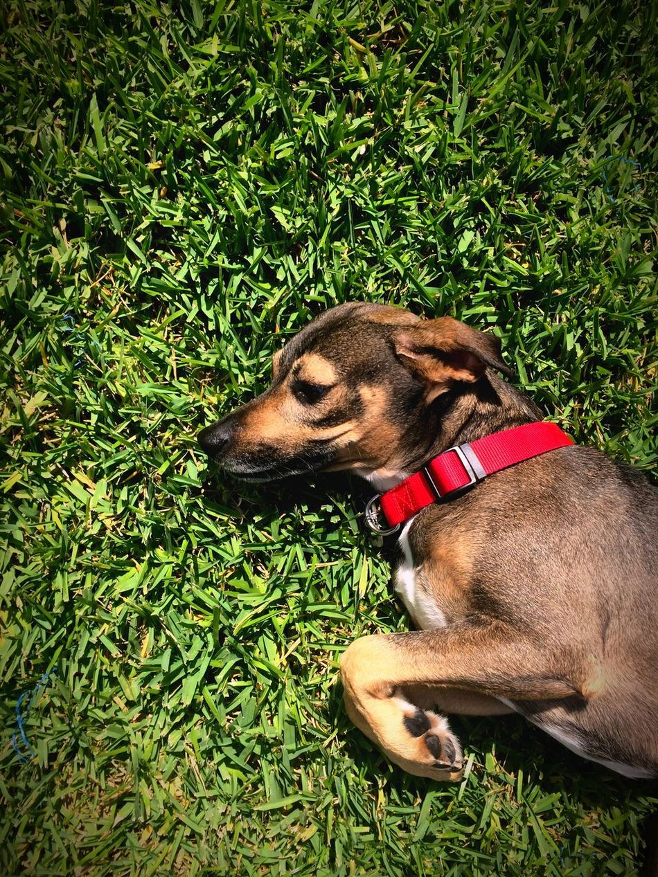 Dog Grass Pets One Animal Animal Themes Green Color Relaxation Nature Day Outdoors Mixed Dog Mix Friendly Coonhound Cute Mutt