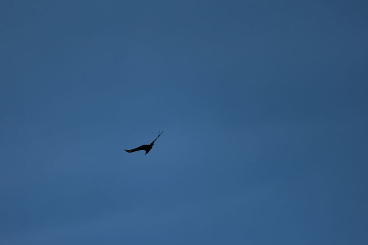 Bird Clear Sky Day Flying Nature One Animal Outdoors Sky