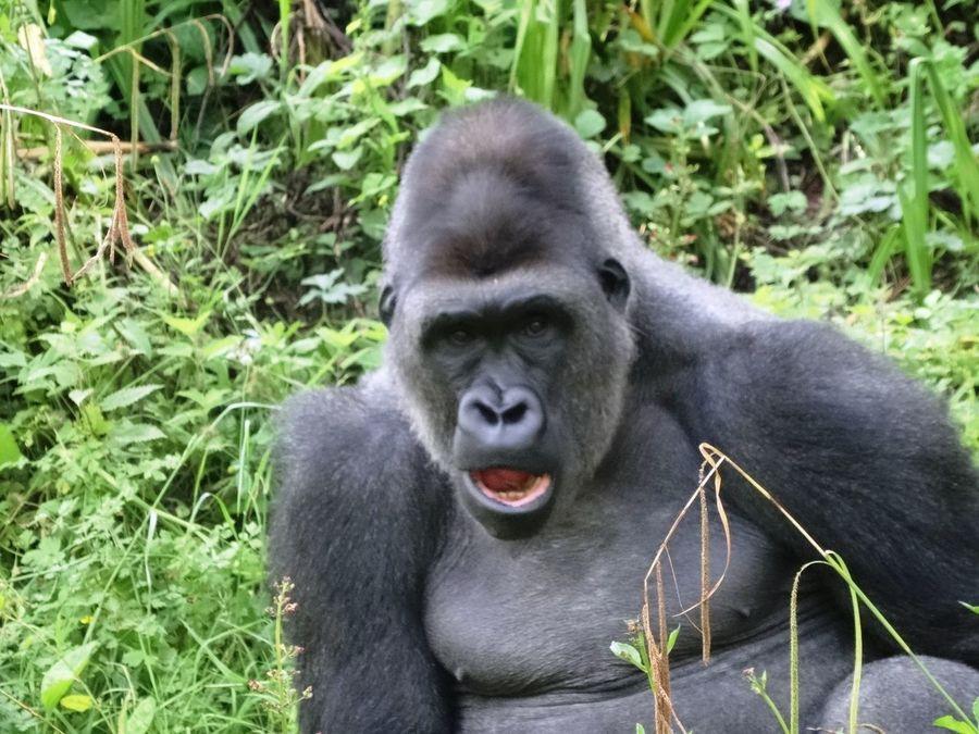 Gorilla Beauty In Nature Hairy Beast Greenery Trees Grass Gren Animal