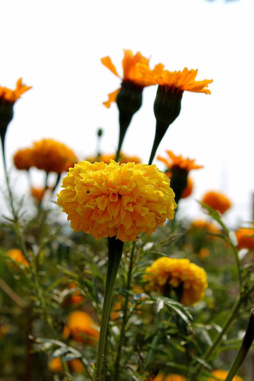 flower, growth, freshness, fragility, petal, nature, focus on foreground, flower head, plant, beauty in nature, blooming, yellow, day, outdoors, close-up, no people