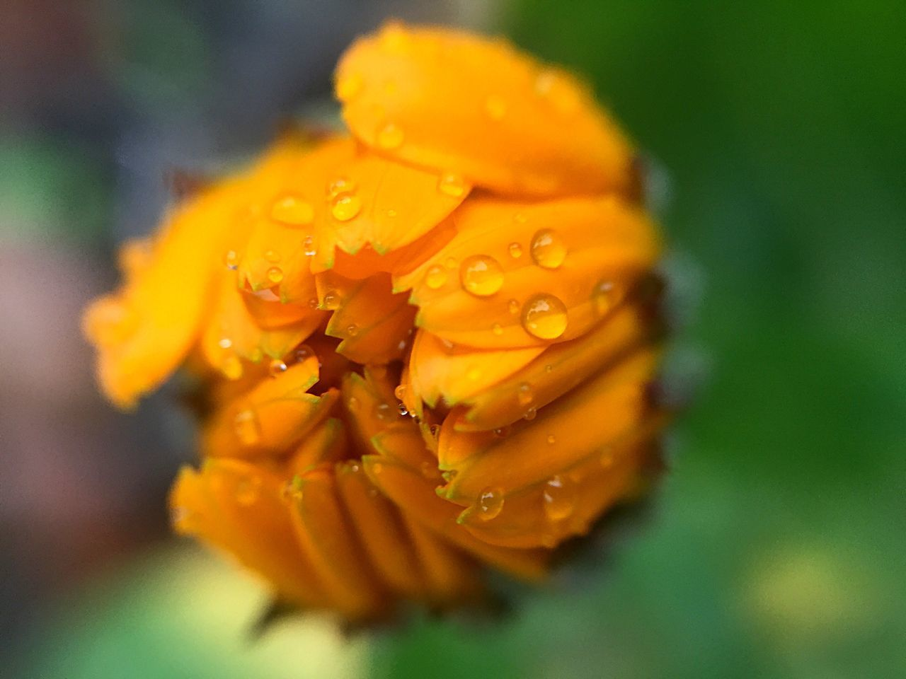 flower, petal, beauty in nature, freshness, orange color, nature, fragility, drop, flower head, growth, wet, close-up, water, plant, blooming, outdoors, selective focus, no people, day, raindrop, stamen, yellow, springtime, day lily