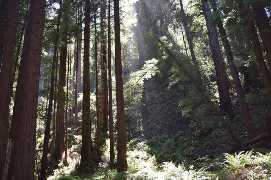 woods Sunrays Redwoods California Travel Tall Tree Muir Tree Forest Nature Tree Trunk WoodLand Pine Tree Growth