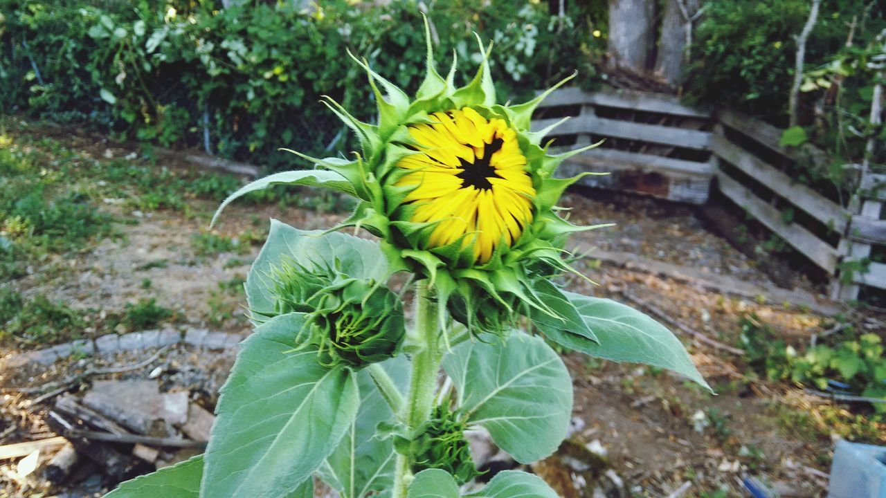 New Beginning Sunflower Yellow Yellow Flower Flower Nature Nature Photography Outside