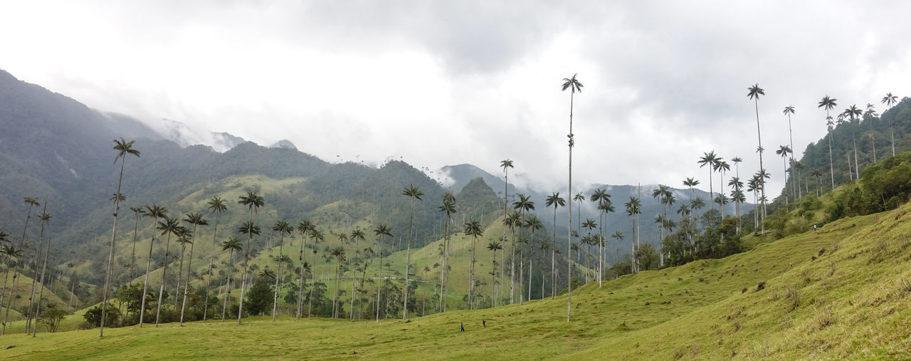 Tallest palm trees of the world in Cocora Valley, Colombia. Reaching 60 meters. Awe Inspiring Beauty In Nature Bosque Nuboso Cloud Forest Clouds And Sky Cocora Valley Colombia Landscape Mist Misty Nature Palm Palm Tree Quindío Salento Tree Wax Palms