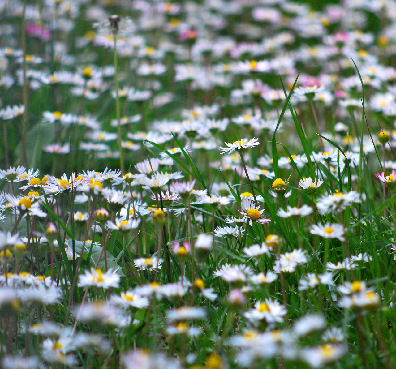 flower, nature, growth, delicate, selective focus, field, plant, summer, grass, fragility, beauty in nature, no people, freshness, outdoors, day