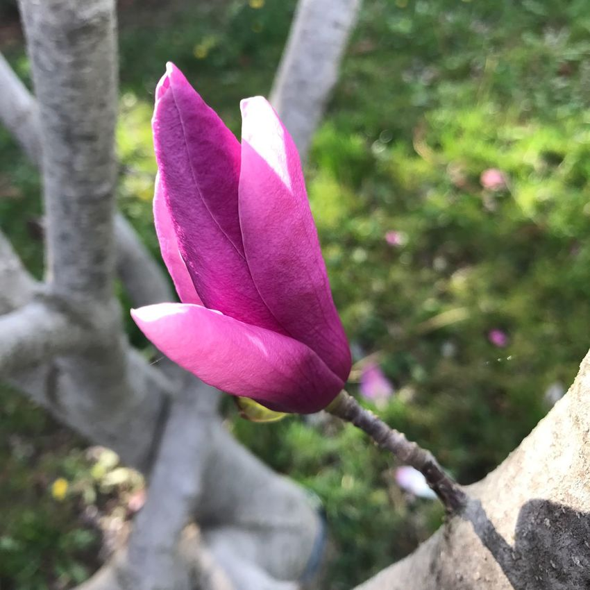 Magnolia_Blossom Flower Nature Beauty In Nature Petal Fragility Freshness Growth Pink Color Purple Blooming Close-up Flower Head No People Plant Outdoors Day Saucer Magnolia Magnolia Magnolia Tree Branches Spring Spring Flowers