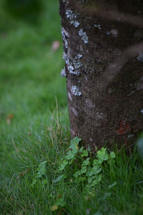 """So nothing is ever good or bad unless you think it so,and vice versa .All luck is good luck to the man who bears it with equanimity ""... Grass Nature Growth Outdoors Tree Trunk No People Beauty In Nature Tree Close-up Dayhappy new week dear friends ☺🍀🍀🍀 Clover Four Leaf Clovers 🍀"
