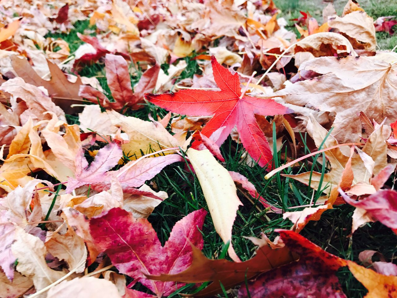leaf, autumn, change, nature, leaves, maple leaf, fragility, no people, maple, day, beauty in nature, outdoors, close-up