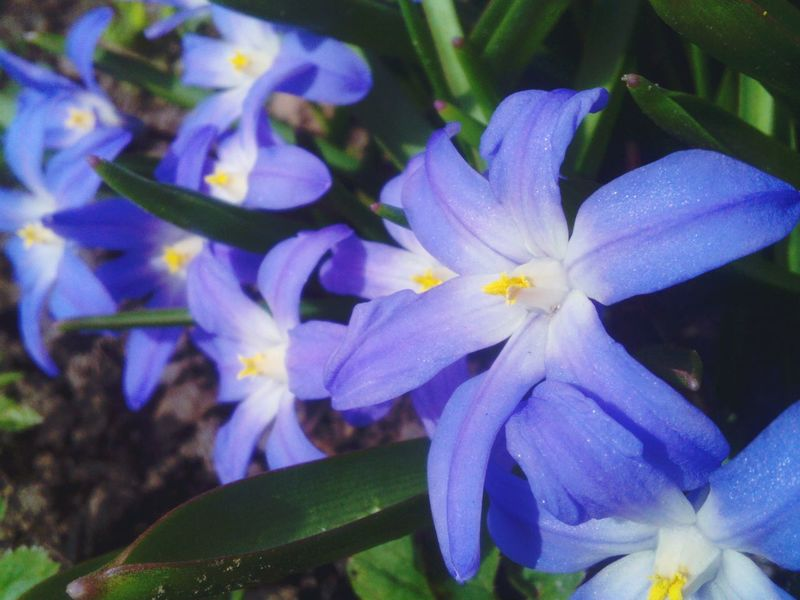 Blue Wave Blue Blossom Macro Beauty Flowers_collection Spring Has Arrived