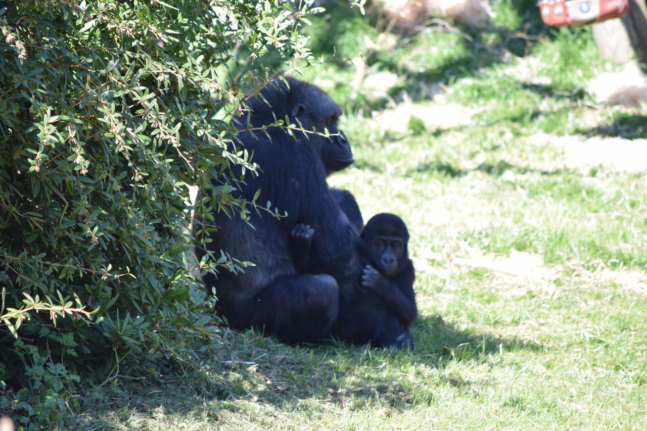 gorilla Animal Themes Animal Wildlife Animals In The Wild Ape Beauval Black Color Chimpanzee Day Female Field Gorilla Gorille Grass Green Male Mammal Monkey Nature No People Outdoors Power Primate Strong Two Animals Zoo