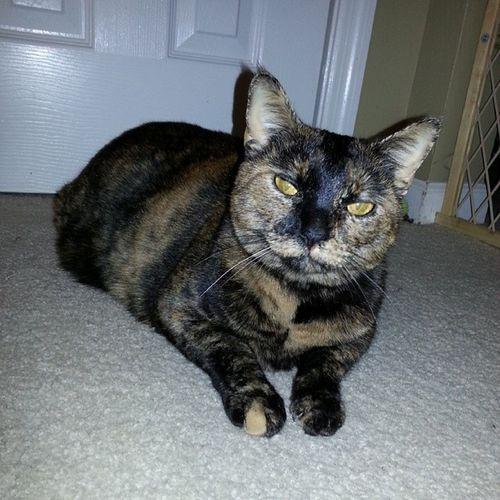 Cats Kitty Tortortiecat Pets loveher
