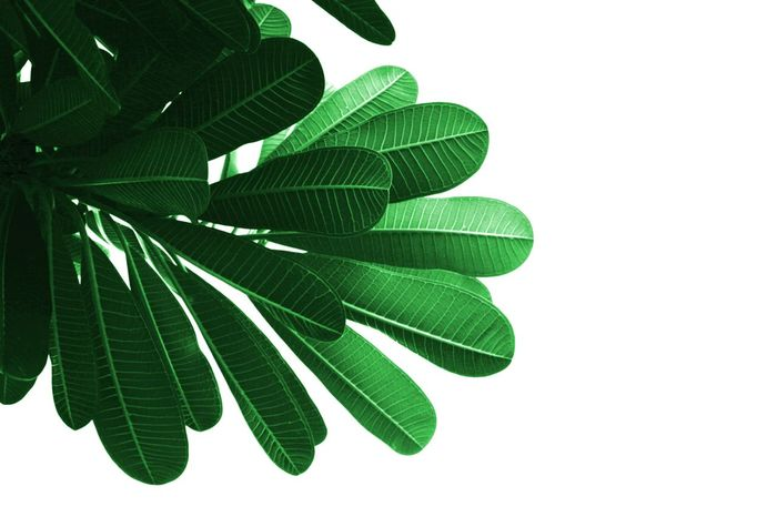 isolated green leaf Green Color Isolated Photograph Leaf No People Outdoors Tree Wallpaper White Background