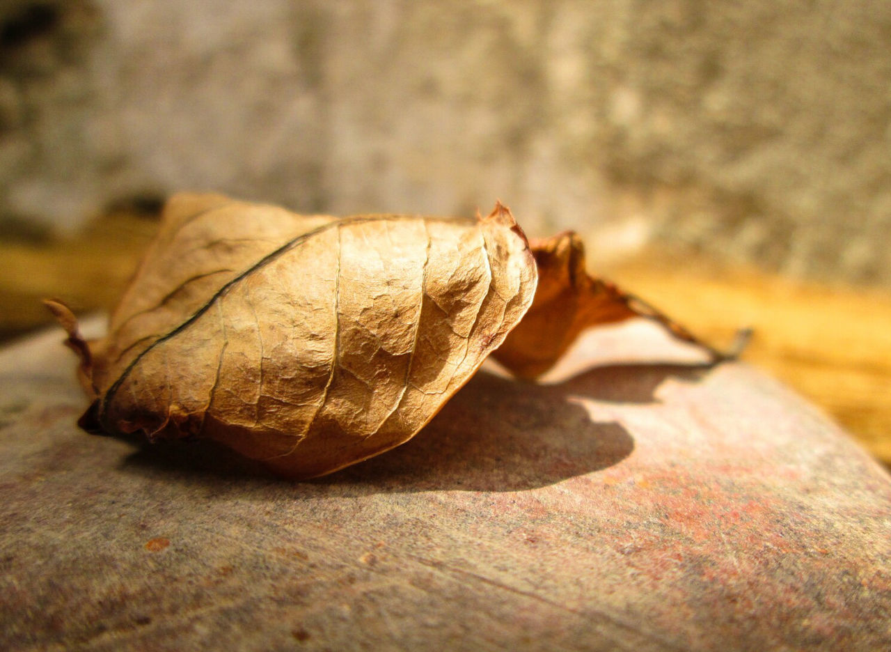 Still a whisper... Brown Focus On Foreground Weathered Close-up Macrolove Macro Photography Macro_collection Macro_perfection Macro Detail Leaf Leaf 🍂 Natural Beauty Nature Nature_collection Sunny Outdoors Macroshot No People Sunlight And Shade Sunlight Eyeemphoto