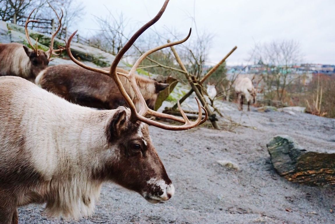 """""""You were once wild here. Don't let them tame you."""" -Isadora Duncan Animals Close-up Foreground Focus Reindeer Traveling in Skansen Stockholm , Sweden"""