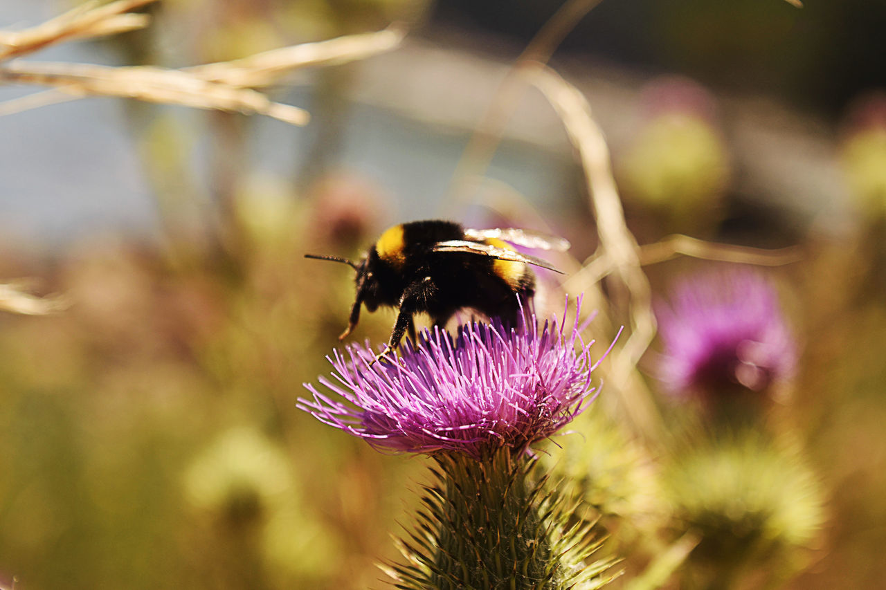 insect, flower, animal themes, animals in the wild, one animal, purple, nature, focus on foreground, no people, plant, growth, fragility, bee, outdoors, animal wildlife, day, beauty in nature, pollination, petal, close-up, freshness, flower head, bumblebee, thistle, buzzing