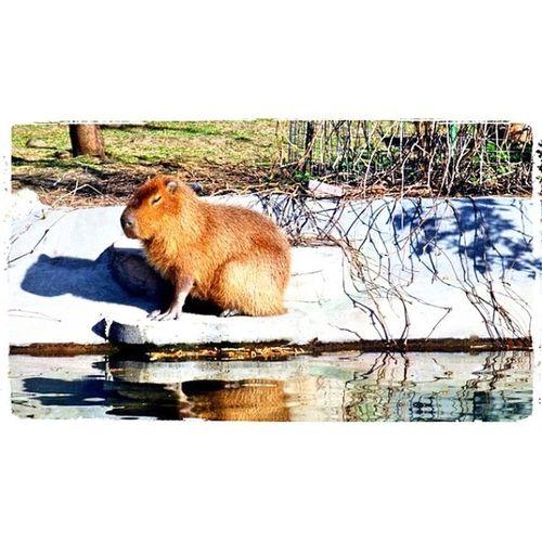 @fotor_apps Fotor Москва зоопарк московскийзоопарк весна zoo moscow good spring копибара