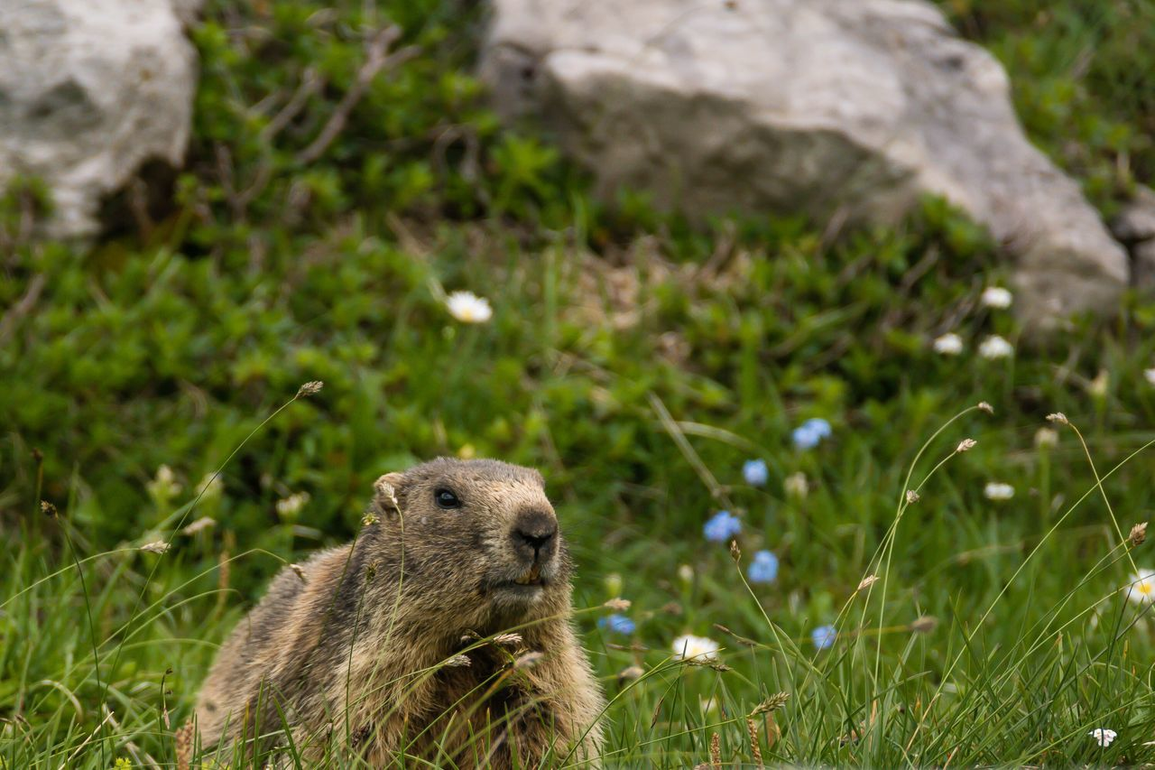 Marmot Murmeltier Nebelhorn Nebelhorn Oberstdorf Allgäu Bayern Bayern Germany Bavaria Germany Wildlife Wildlife Photography Wildlife & Nature No People Animals Animals In The Wild