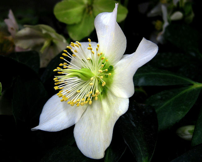 Helleborus niger Botany Close-up Day Flower Flower Head Helleborus Niger No People Outdoors Petal White Color