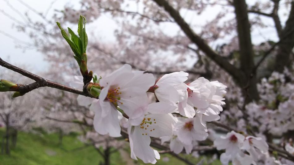 Flower Sakura Young Leaves Season  Spring