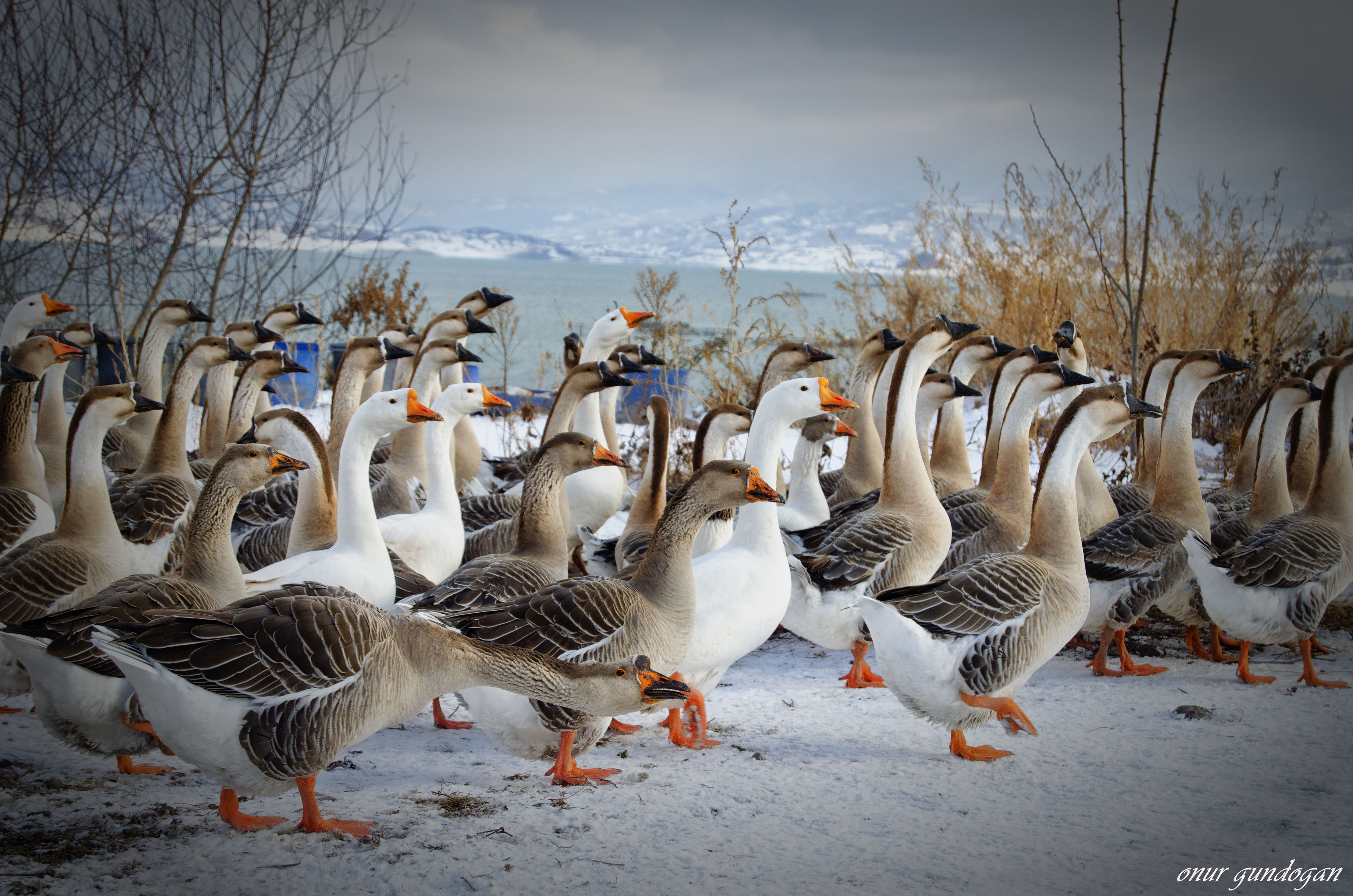 bird, large group of animals, animal themes, animals in the wild, animal wildlife, nature, day, outdoors, winter, geese, no people, sky, cold temperature, flock of birds, greylag goose, water