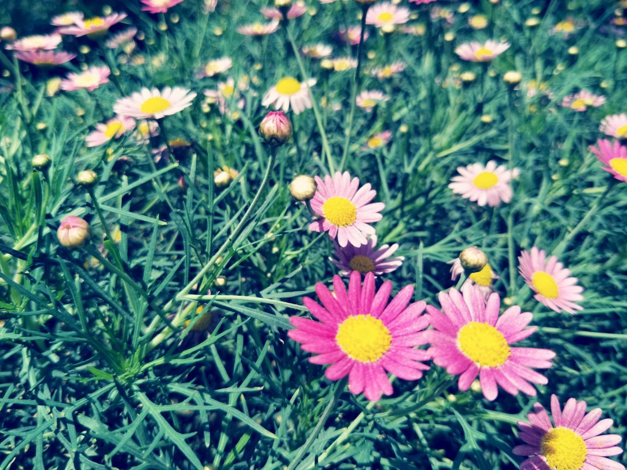Flower Growth Beauty In Nature Nature Fragility Petal Plant Freshness Flower Head Blooming Day Outdoors No People Close-up For Sale Buy Floral Why pink?