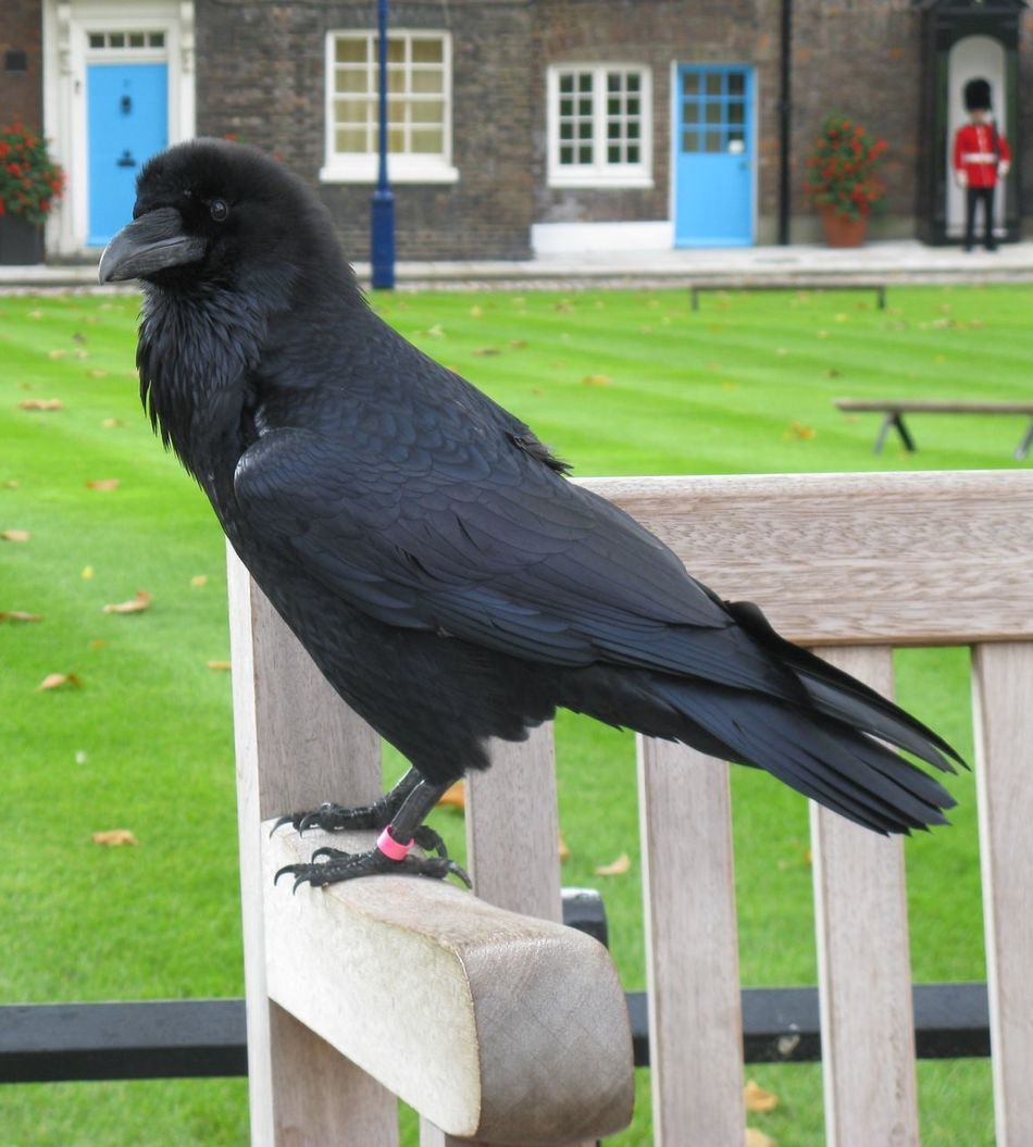 Guard Duty Guard Duty Raven Tower Of London Black Bird London