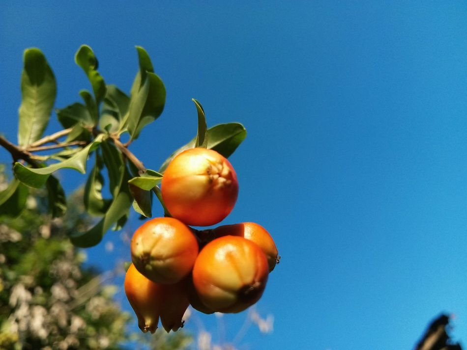 Fruit Clear Sky Blue Growth Close-up Freshness Nature Tree Outdoors Agriculture Pomegranate Babyfruit First Eyeem Photo