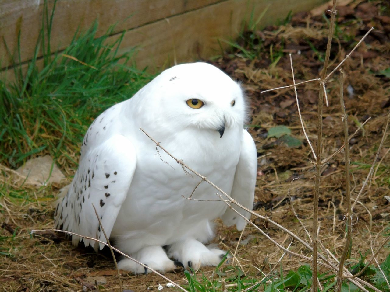 Snowy Owl Uk Eye Em Scotland Scotland Kincraig Wildlife Park Snowy Owls Snowy Owl Beauty In Nature Owl Photography Owls Beautiful Animals  Backgrounds Animal Themes Bird Animals In The Wild Close-up Perching Outdoors Owl Nature Animal_collection Animal Wildlife Wildlife Photography Wildlife Photos Portrait
