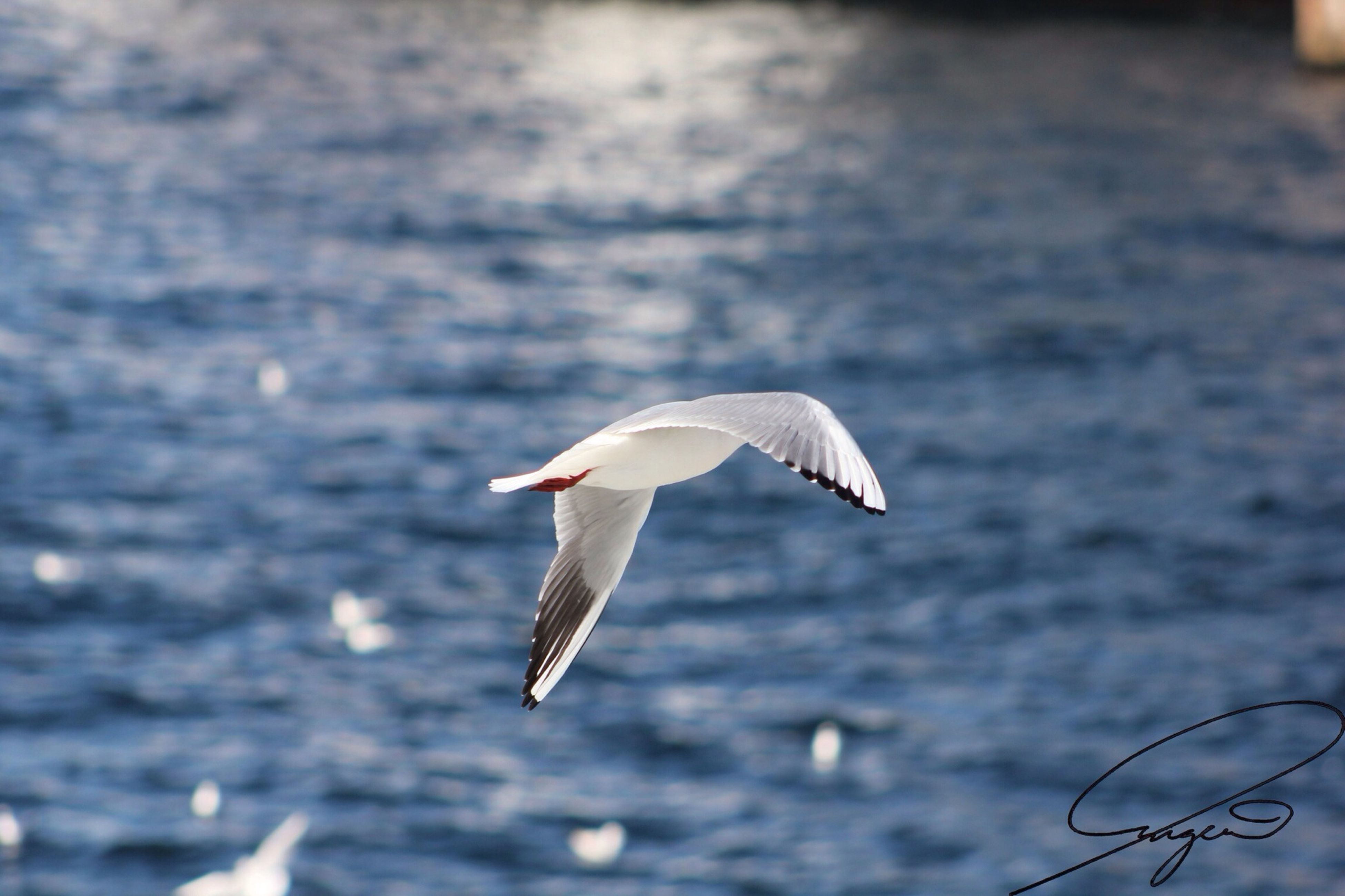 animal themes, animals in the wild, bird, one animal, flying, spread wings, wildlife, seagull, mid-air, animal wing, water, focus on foreground, full length, nature, white color, side view, sea bird, outdoors, zoology, day