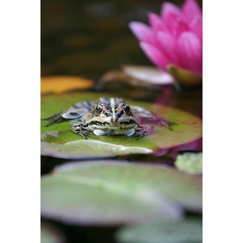 Garden Pond Frog Waterlily Eos350d Noeffect