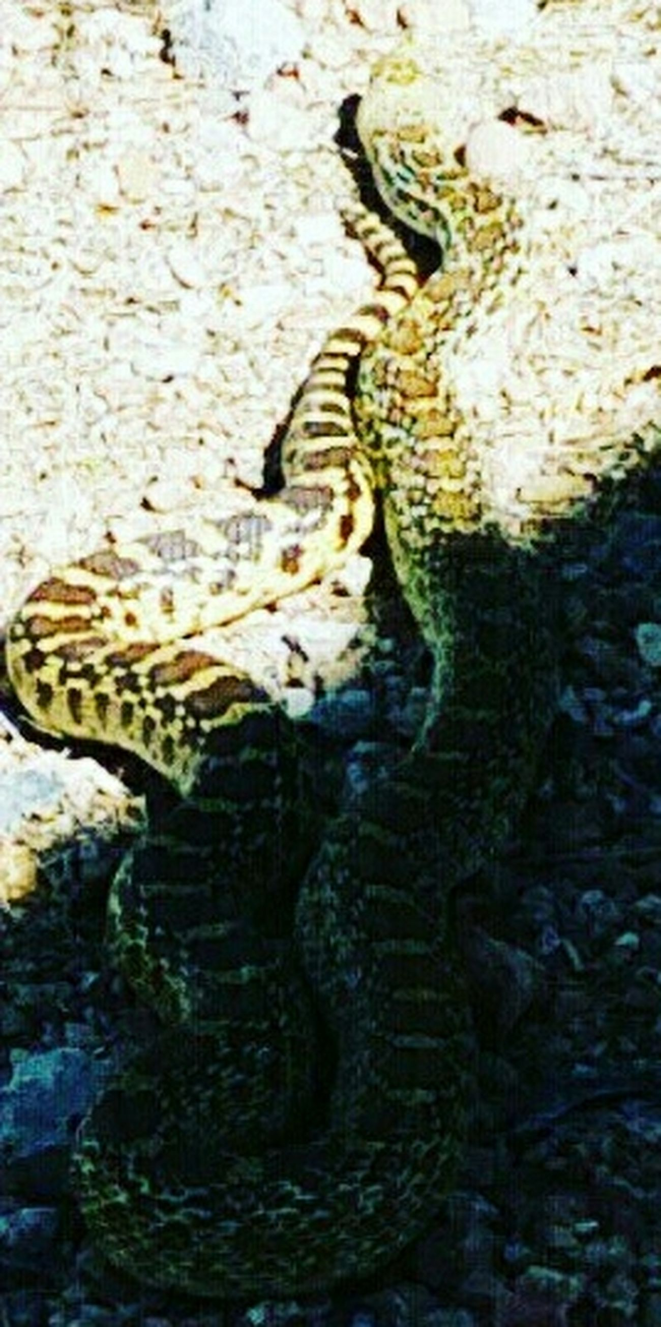 Outdoors Full Frame Surroundings Deadlycreatures Deadly Snake Momentsinthesun Arizona Sonoran Desert My Back Yard ExploreEverything Overhead View Diamondback Rattle Snake Poisonous High Angle View Landscape DONT BLINK !