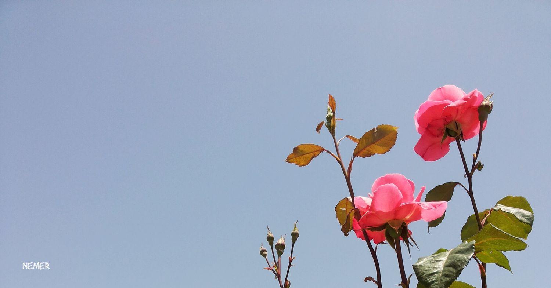 Flower Fragility Nature Flower Head Leaf Plant Freshness Close-up Beauty In Nature Sky Growth Branch Sky_collection Amman Light Blue Sky Sunlight Skyscape Pinkrose Jordan First Eyeem Photo Rosé Roses🌹 Pnik