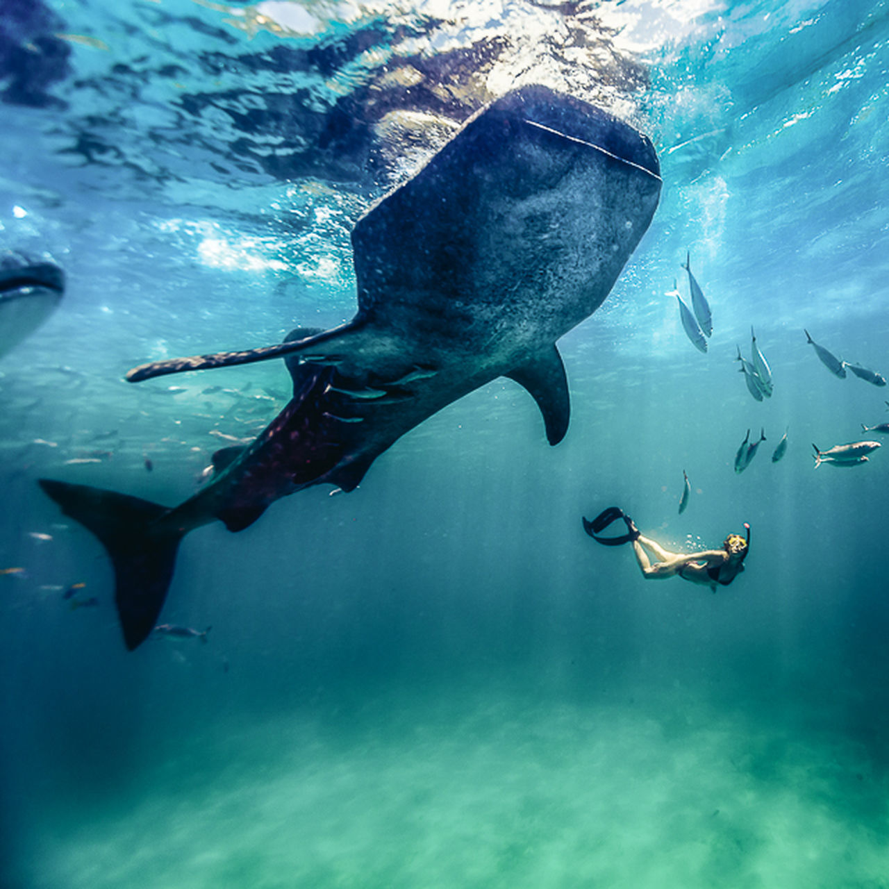 underwater, fish, sea life, undersea, animal themes, animals in the wild, swimming, sea, nature, animal wildlife, water, large group of animals, whale shark, no people, scuba diving, beauty in nature, full length, day, outdoors