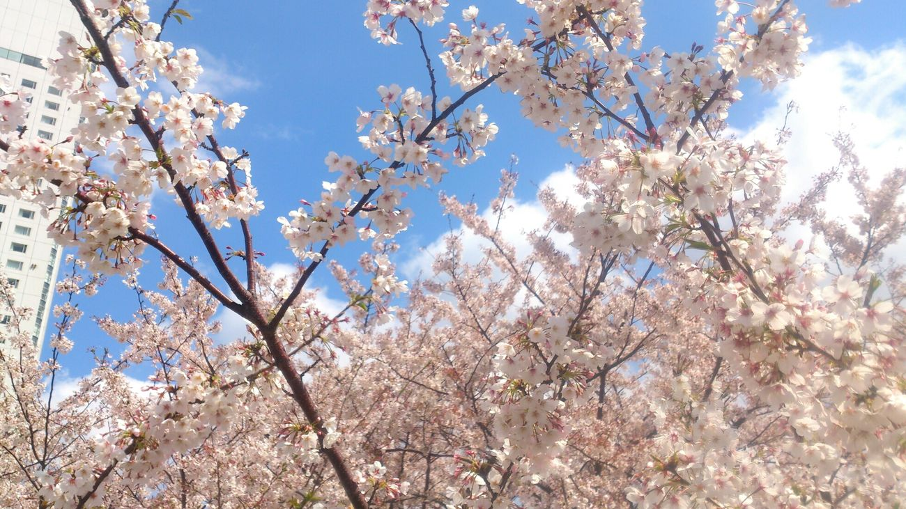 Sakura Yokohama Spring Cherry Blossom まだまだ綺麗♪