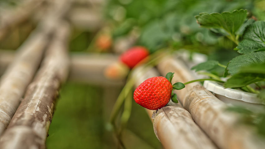 Red Healthy Eating Nature Agriculture Close-up Outdoors Leaf Freshness Growth Day Plant Water Fruit No People Food Tree