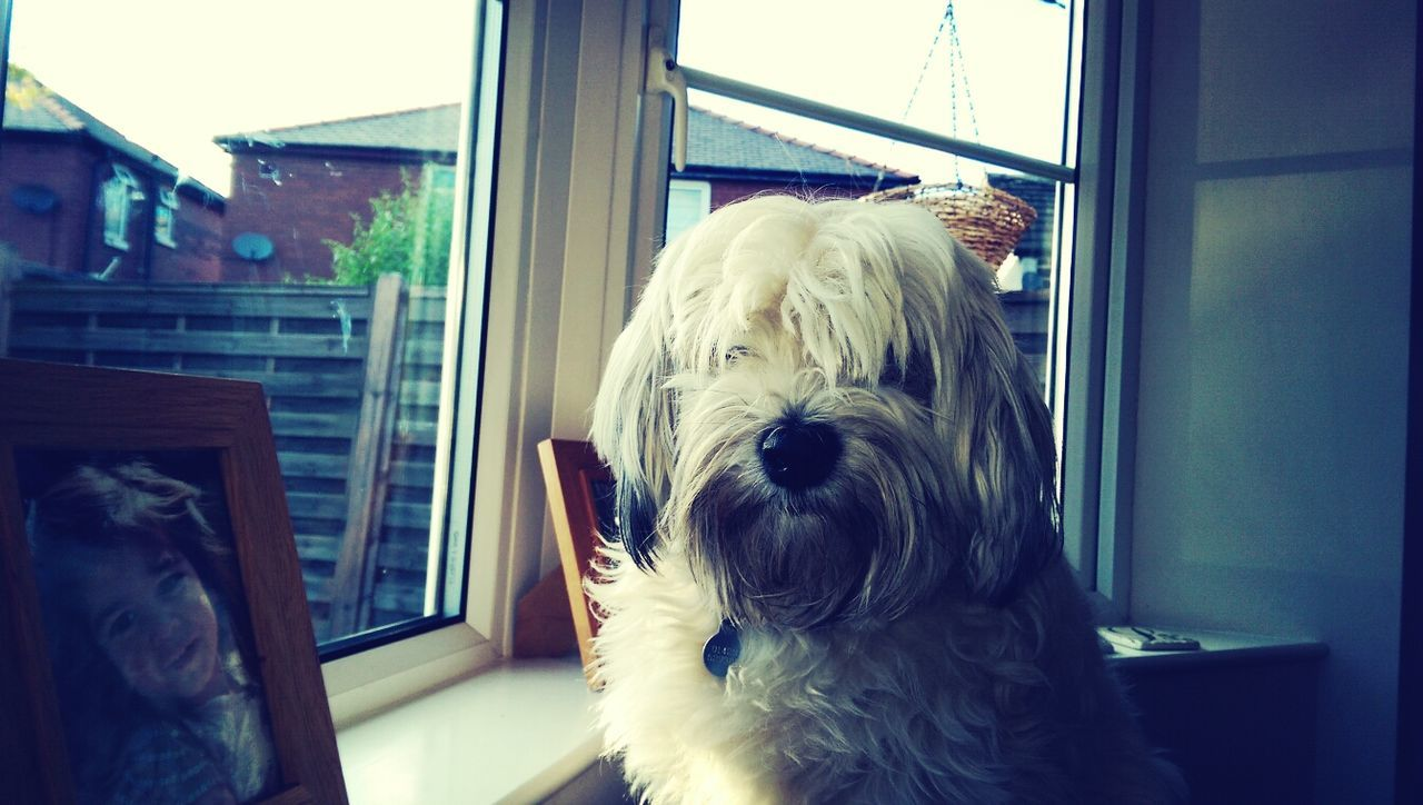 Portrait Of Hairy Dog Sitting By Window