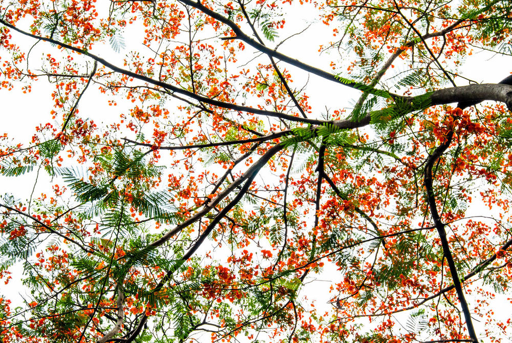 Flame Tree Beauty In Nature Blooming Blossom Branch Close-up Day Flower Freshness Fruit Growth Low Angle View Nature No People Outdoors Royal Poinciana Sky Tree Vibrant Color