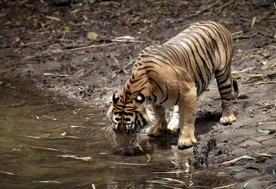 Sumatra Tiger Drinking Water at Pond Animal Animal Themes Animal Therapy Animals In The Wild Big Cat Color Image Collection Endangered Animals Endangered Species INDONESIA Mammal Nature No People One Animal Outdoors Photography Sumatra  Sumatra Tiger Tiger Water