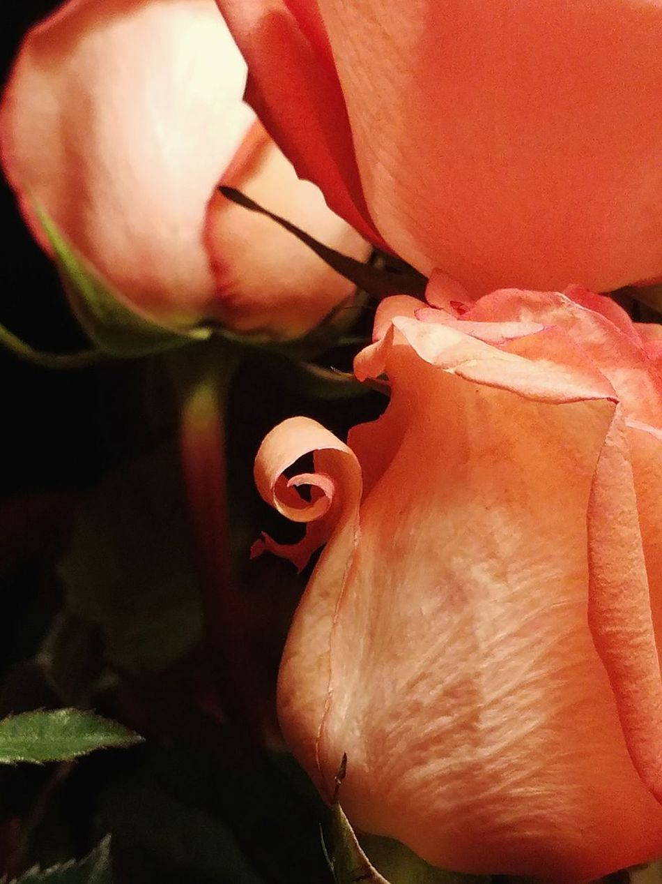 Eyeem Photography Taking Photos Close-up Beauty In Nature Indoors  Colorado Springs CO USA Textured  Roses